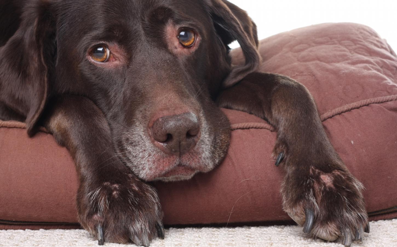 Artrosis canina