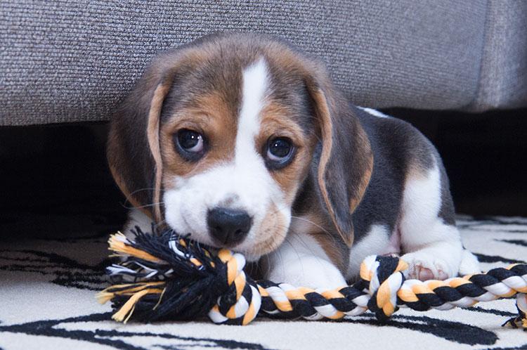 Beagle con ansiedad